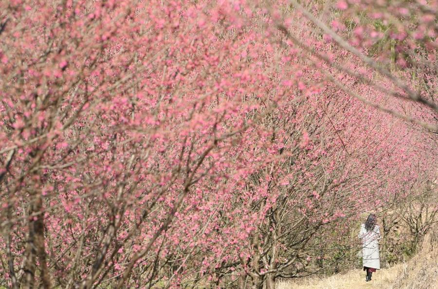 ทอดน่องท่องสวนซากุระบานสะพรั่งสุดลูกหูลูกตาใน 'หางโจว'